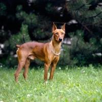 Picture of adzi z keltske hory cs, alert pinscher with cropped ears