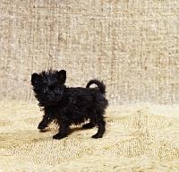 Picture of affenpinscher puppy standing