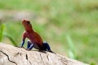 Picture of agama lizard in the masai mara
