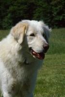 Picture of Akbash dog three quarter head shot