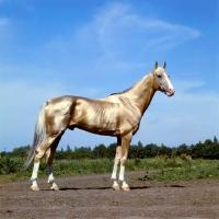 Picture of akhal teke, fabulous gold stallion at pyatigorsk hippodrome
