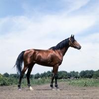 Picture of akhal teke stallion at piatigorsk hippodrome