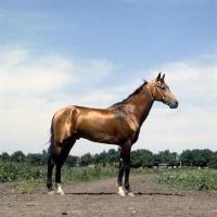 Picture of akhal teke stallion, metallic colour, with jewelled collar at piatigorsk hippodrome