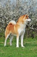 Picture of Akita near blossom