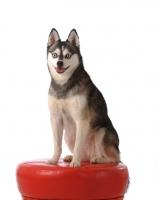 Picture of Alaskan Klee Kai dog on stool