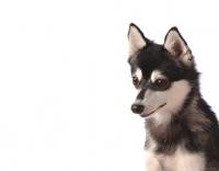 Picture of Alaskan Klee Kai dog portrait