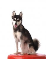 Picture of Alaskan Klee Kai dog sitting down