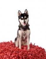 Picture of Alaskan Klee Kai dog