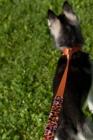 Picture of Alaskan Klee Kai on lead