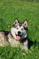 Picture of Alaskan Malamute portrait