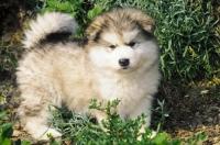 Picture of Alaskan Malamute puppy