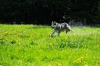 Picture of Alaskan Malamute running in field