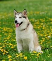Picture of Alaskan Malamute sitting in flowery field