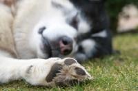 Picture of Alaskan Malamute sleeping