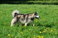 Picture of Alaskan Malamute walking in field