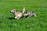 Picture of Alaskan Malamutes chasing