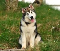 Picture of Alaskan Malamute