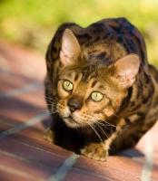Picture of alert Bengal cat