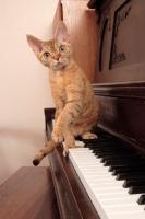 Picture of alert Devon Rex on piano