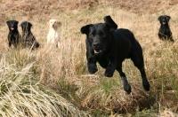 Picture of alert Labrador Retriever dogs