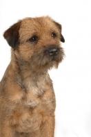 Picture of alert looking Border Terrier