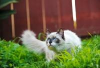 Picture of alert Ragdoll in garden