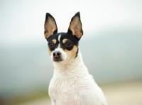 Picture of alert Toy Fox Terrier