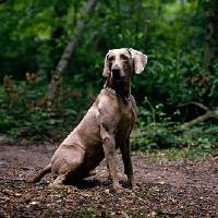 Picture of alert weimaraner sitting in woods
