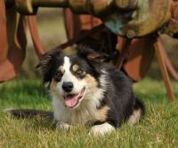 Picture of alert Welsh Sheepdog