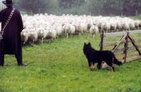 Picture of Altdeutsche Hutehund (aka Old German Sheepdog, Westerwalder) looking at sheep
