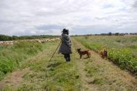 Picture of Altdeutscher Huetehund with shepherd running the border
