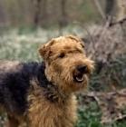 Picture of am ch jalmar's felstead,  happy welsh terrier, untrimmed