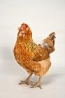 Picture of Ameraucana hen in studio