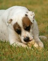 Picture of American Bulldog chweing bone in grass