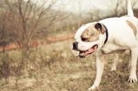 Picture of American Bulldog in autumn