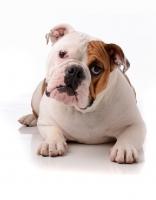 Picture of American Bulldog in studio