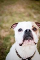 Picture of American Bulldog portrait