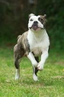 Picture of American Bulldog running