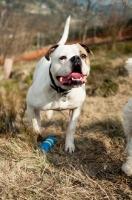 Picture of American Bulldog