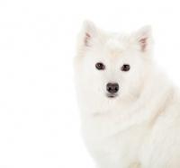 Picture of American eskimo dog on white background, portrait