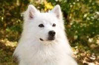 Picture of American Eskimo dog portrait