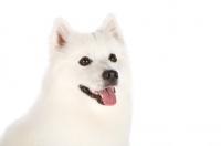 Picture of american eskimo dog