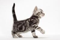Picture of American Shorthair kitten walking in studio