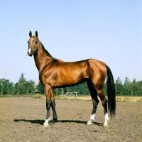 Picture of amulet, akhal teke stallion at piatigorsk hippodrome looking at camera