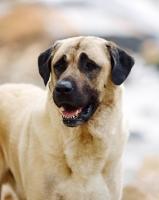 Picture of Anatolian Shepherd Dog portrait