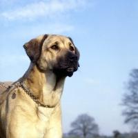 Picture of anatolian shepherd dog with choke chain