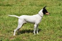 Picture of Andalusian Rat Hunting Dog (aka Perro Ratonero Andaluz, Ratonero Bodeguero)
