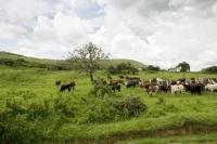 Picture of ankole herd in field