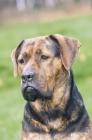 Picture of Antique mastiff, Antikdogge