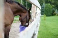 Picture of Appaloosa feeding near fence